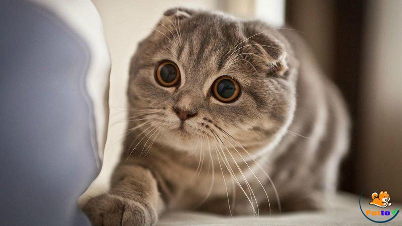 Mèo Scottish Fold - mèo tai cụp