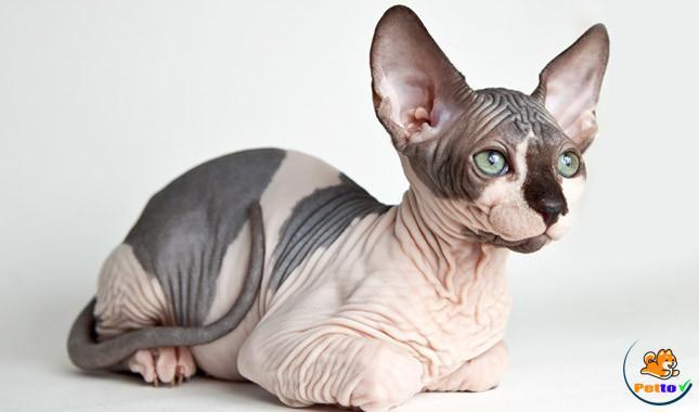 Mèo sphynx trông rất giống tượng nhân sư Ai Cập