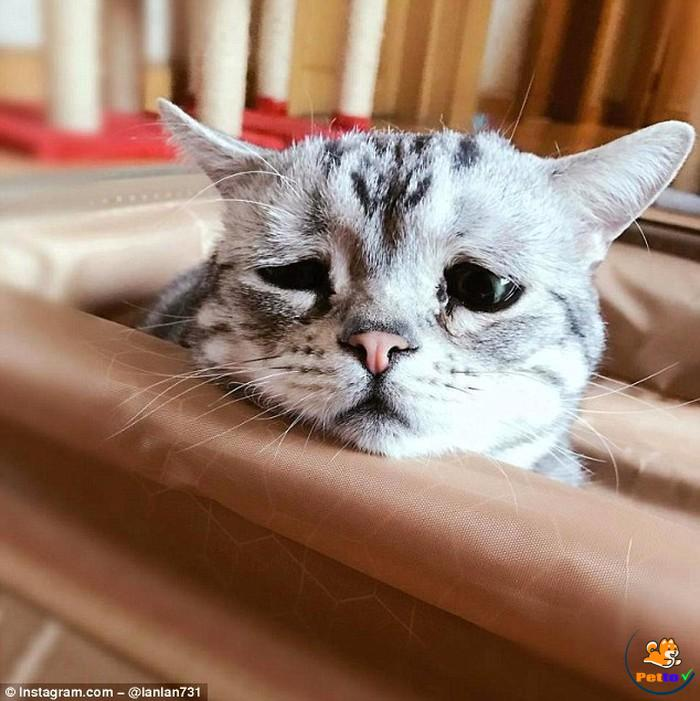 Chú mèo buồn nhất thế giới lulu