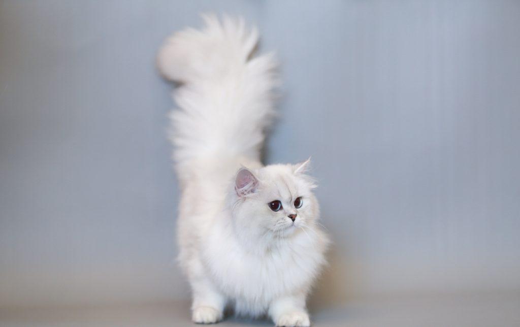 Mèo anh lông dài rất ôn hòa và dễ bảo