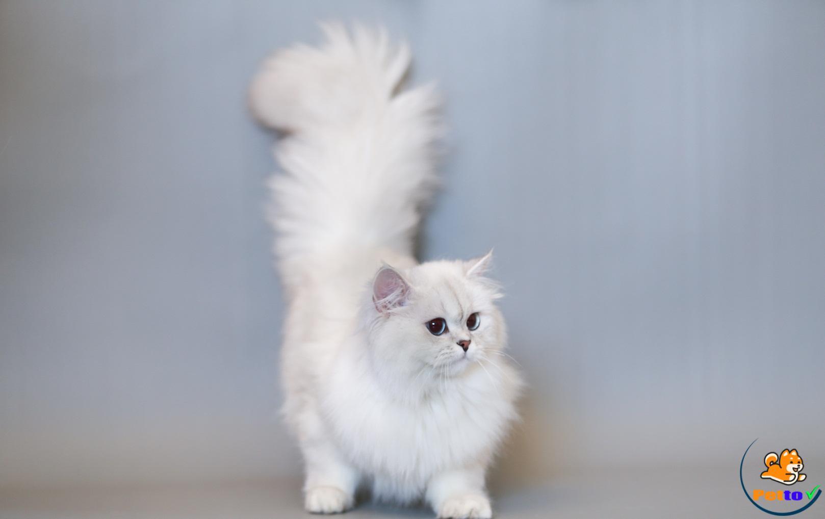 Mèo anh lông dài và những điều cần biết
