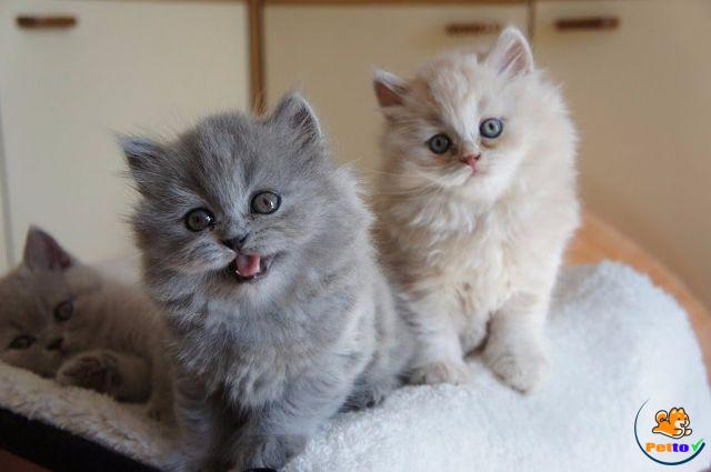 Mèo anh lông dài có nhiều màu lông khác nhau