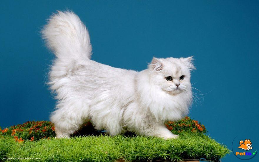 HÌnh ảnh về mèo anh lông dài