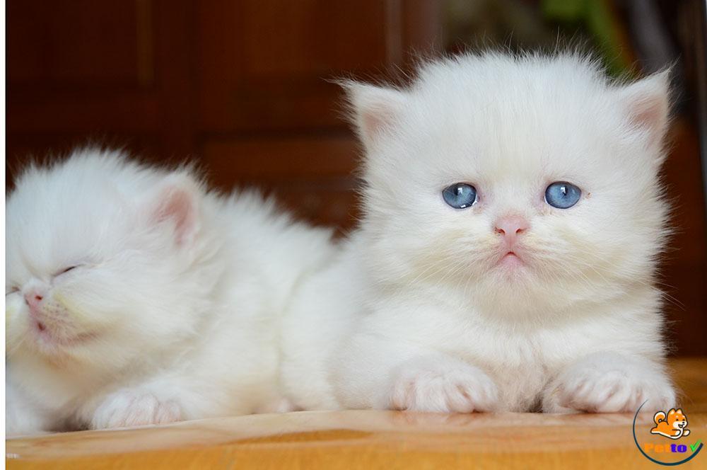 Giá của mèo anh lông dài thường không quá mắc