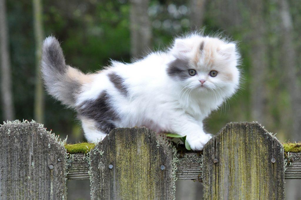 Mèo muchkin dễ thương