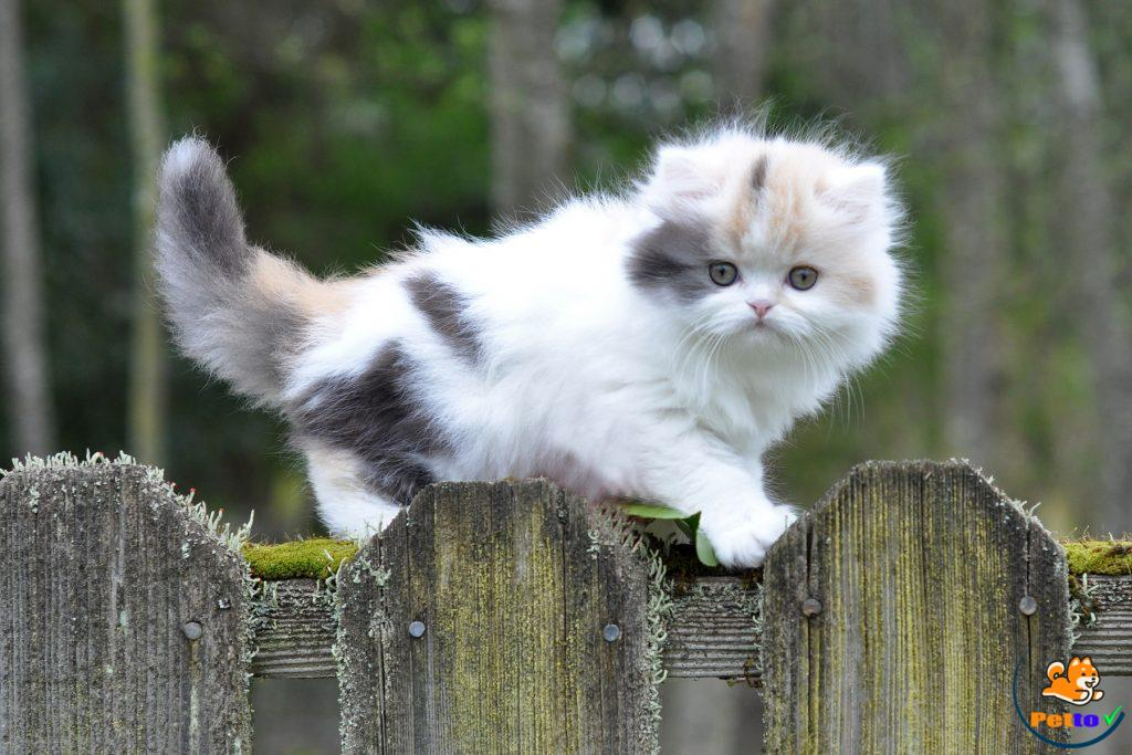 mèo muchkin