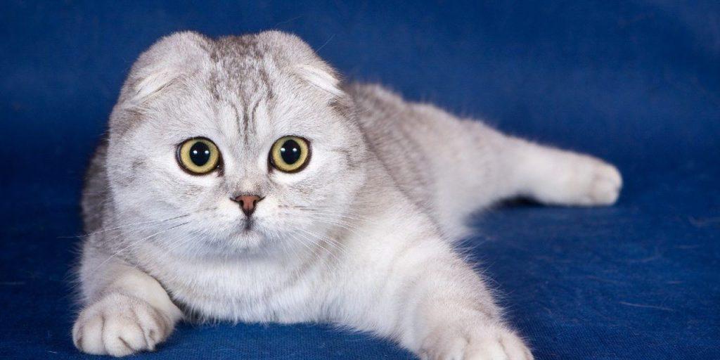Mèo tai cụp với dáng người tròn trĩnh, bộ lông ngắn dày, đôi mắt to tròn