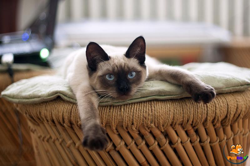Mèo xiêm tại Việt Nam thường chủ yếu được lai với mèo ta nên được gọi là mèo xiêm lai
