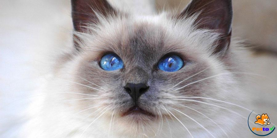 Mèo xiêm thái màu socola cực kì dễ thương với đôi mắt xanh dương