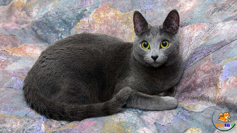 Mèo Nga trắng mắt xanh rất thân thiện và hiền lành