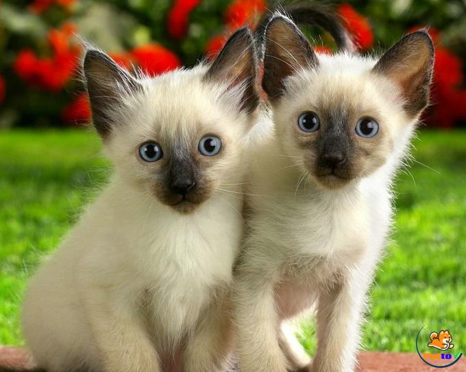 Lông của mèo Xiêm thường khá ngắn