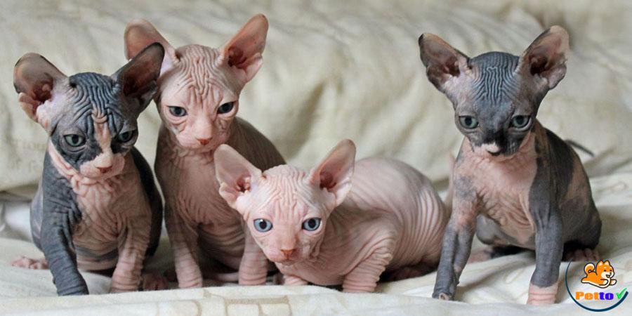 Giống Mèo Xấu Nhất Thế Giới Từ Khi Mới Sinh