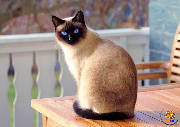 Mèo xiêm cực kì thân thiện và dễ nuôi