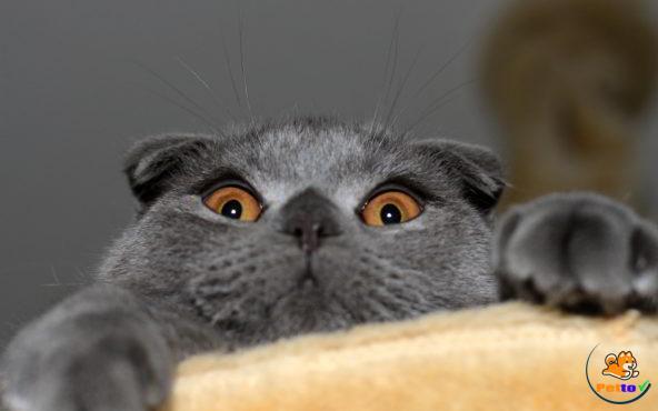 Đôi mắt màu vàng đồng là đặc trưng của mèo Anh lông ngắn