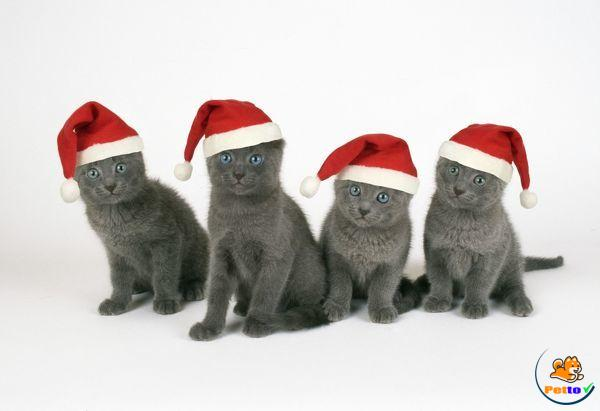 Mèo Russian Blue có nguồn gốc xuất xứ từ  nước Nga