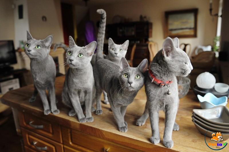 Tuổi thọ mèo Nga mắt xanh khá cao