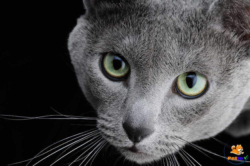 Mèo Russian Blue có màu mắt xanh huyền bí