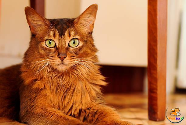 Somalia - mèo có kích thước trung bình, rất khéo léo và năng động.