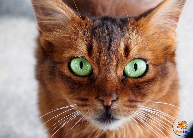 Đôi mắt mèo Somali màu xanh lá