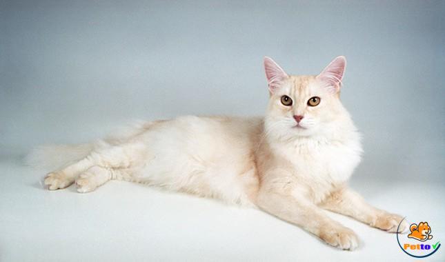 Mèo Somali phổ biến khắp thế giới