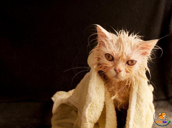 Chuẩn bị dụng cụ cần thiết khi tắm mèo