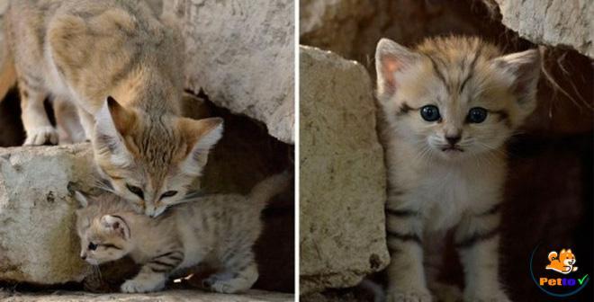 Đây là loài mèo Cát sống ở sa mạc - tắm cho mèo con sợ nước