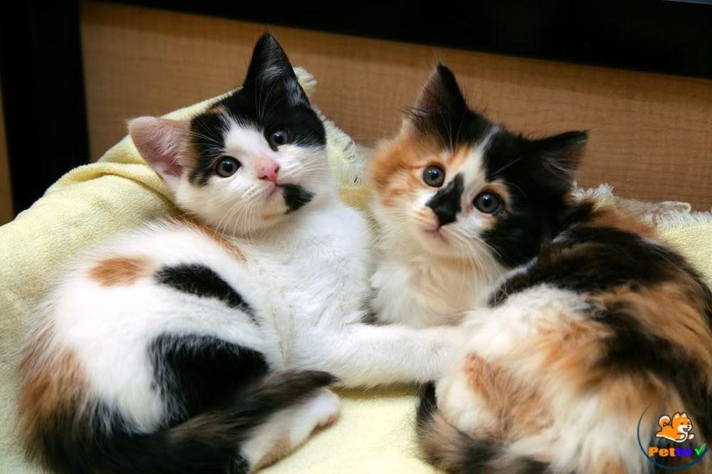 Mèo tam thể có bộ lông cơ bản mang ba màu, thường là các màu vàng/nâu vàng/đỏ, đen/nâu đen và trắng