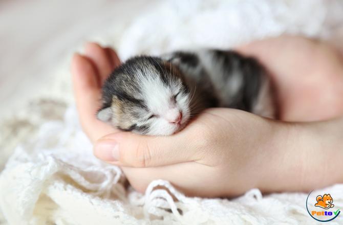 Mèo được chăm sóc tốt thì tuổi thọ mèo càng cao
