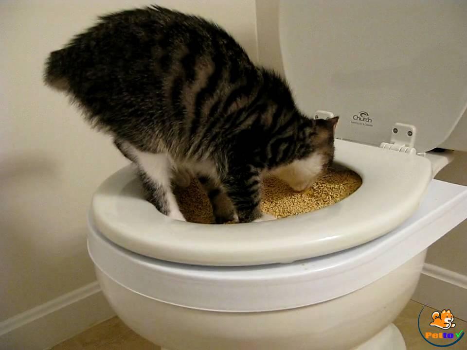 Dùng thức ăn để mèo tập nhảy lên bồn cầu - cách dạy mèo đi vệ sinh vào bồn cầu