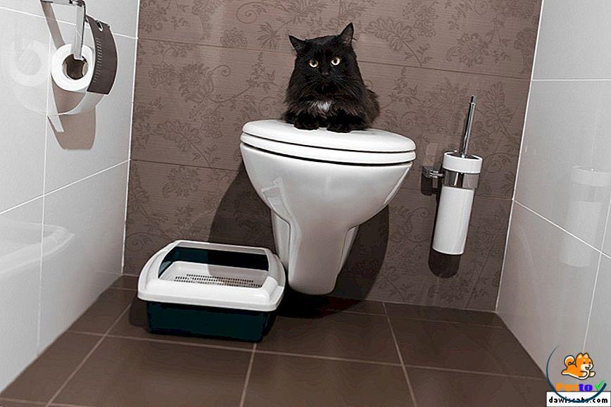 Cách huấn luyện mèo đi vệ sinh đúng chỗ
