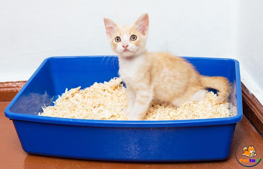 Tập cho mèo con đi vệ sinh khi mới bắt đầu nuôi - cách dạy mèo đi vệ sinh đúng chỗ