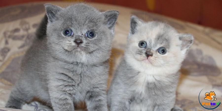 Cách chăm sóc mèo Anh lông ngắn thuần chủng