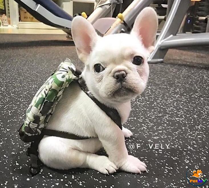 Chó mang ba lô