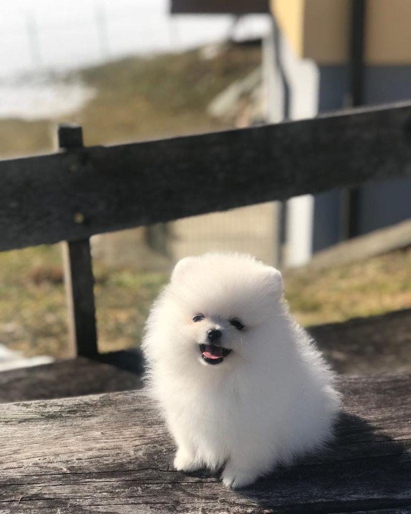 Chó bông gòn dễ thương