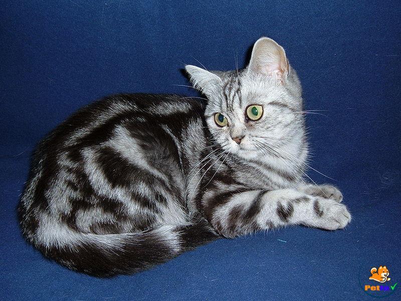 Hình ảnh chú mèo ALN lai với mèo mèo mướp