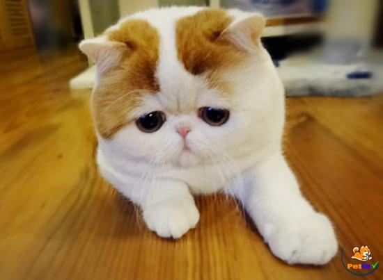 Khuôn mặt hiền lành và đáng yêu của mèo mặt tịt