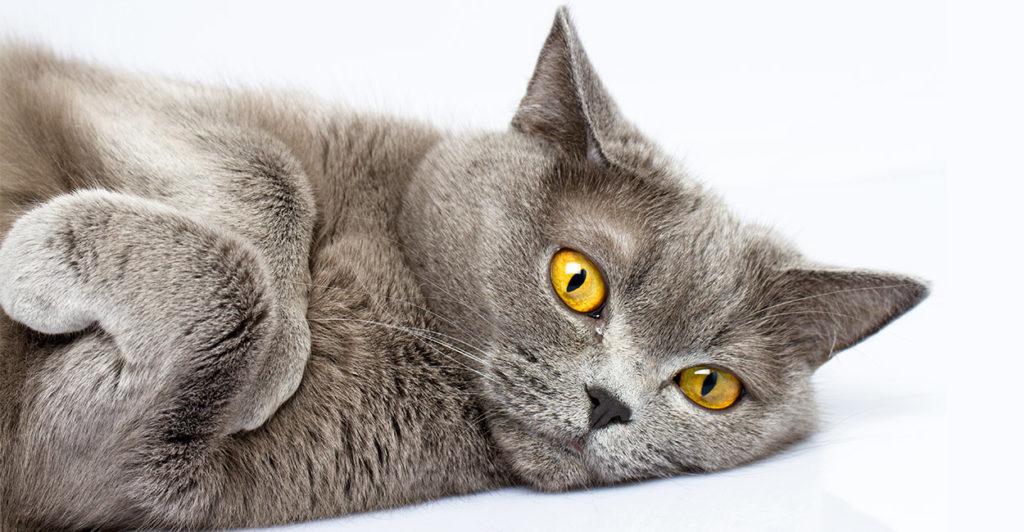 Mèo Anh lông ngắn thuần chủng rất được ưu chuộng