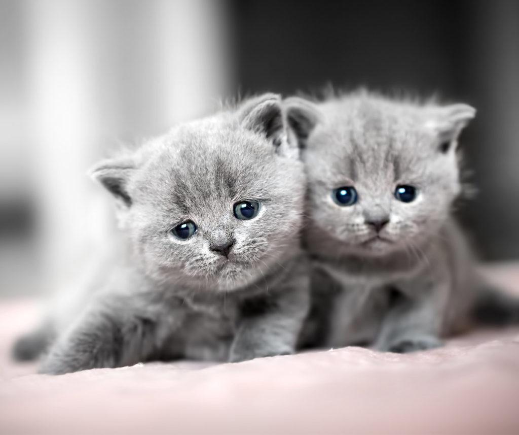 Mèo Anh lông ngắn thuần chủng rất hiếm