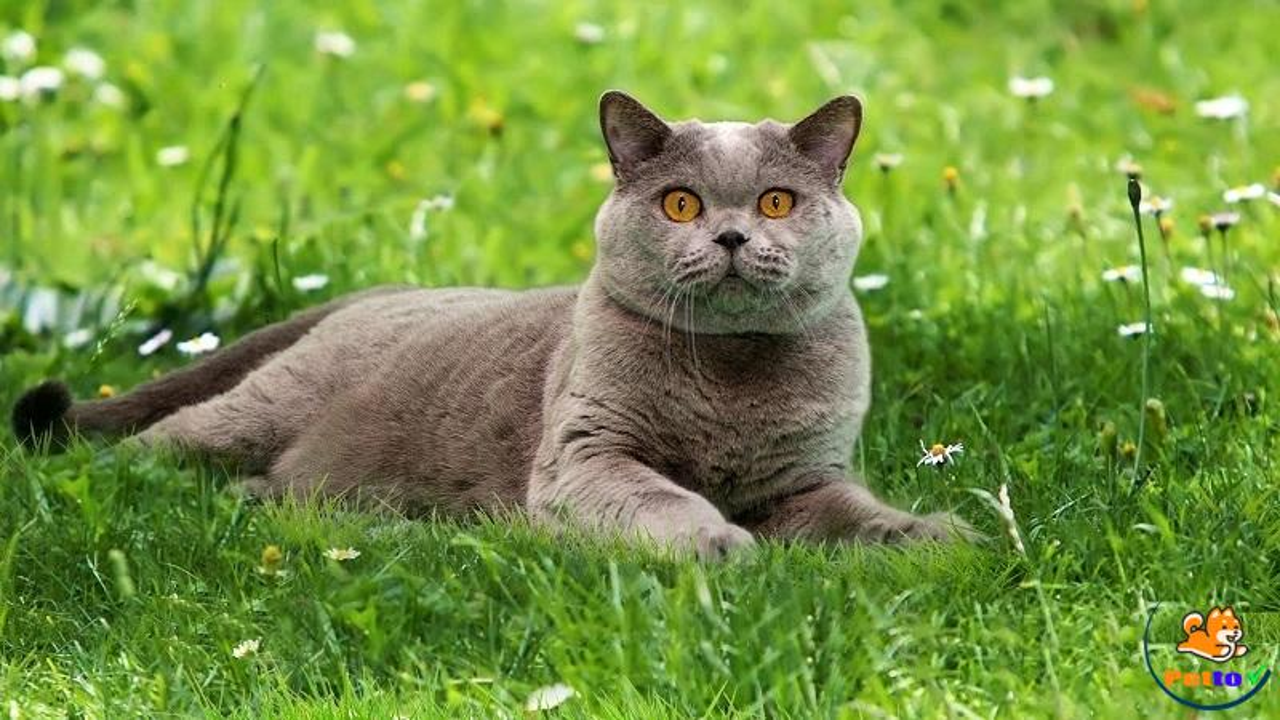 Mèo ALN  thuần chủng có màu xám