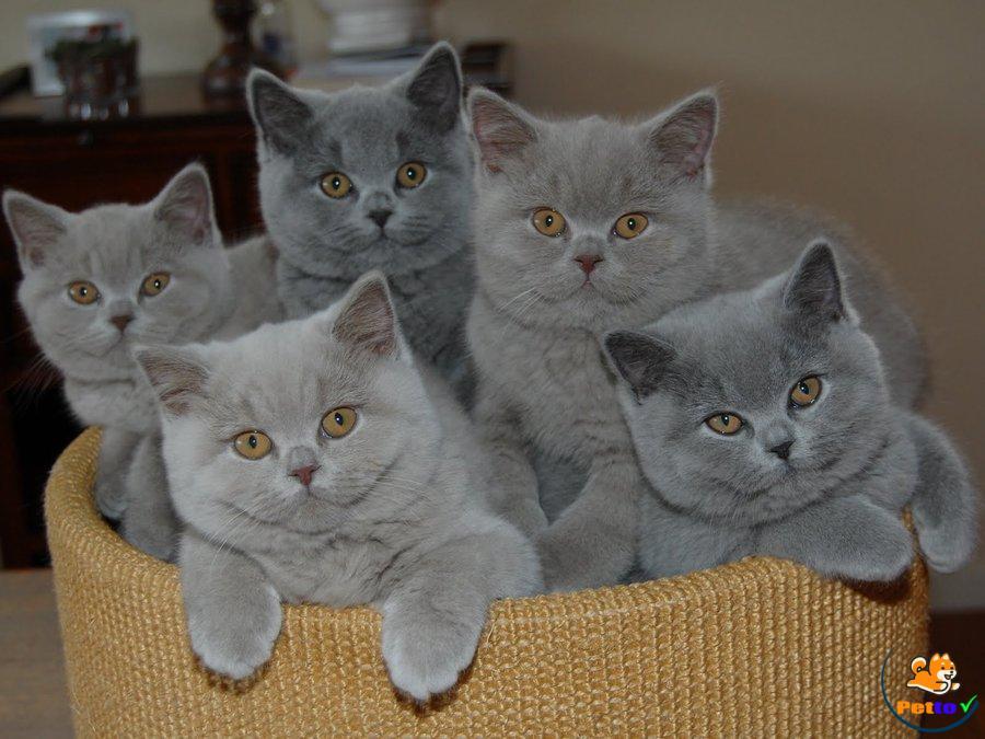 Mèo Anh lông ngắn thuần chúng giá rất cao