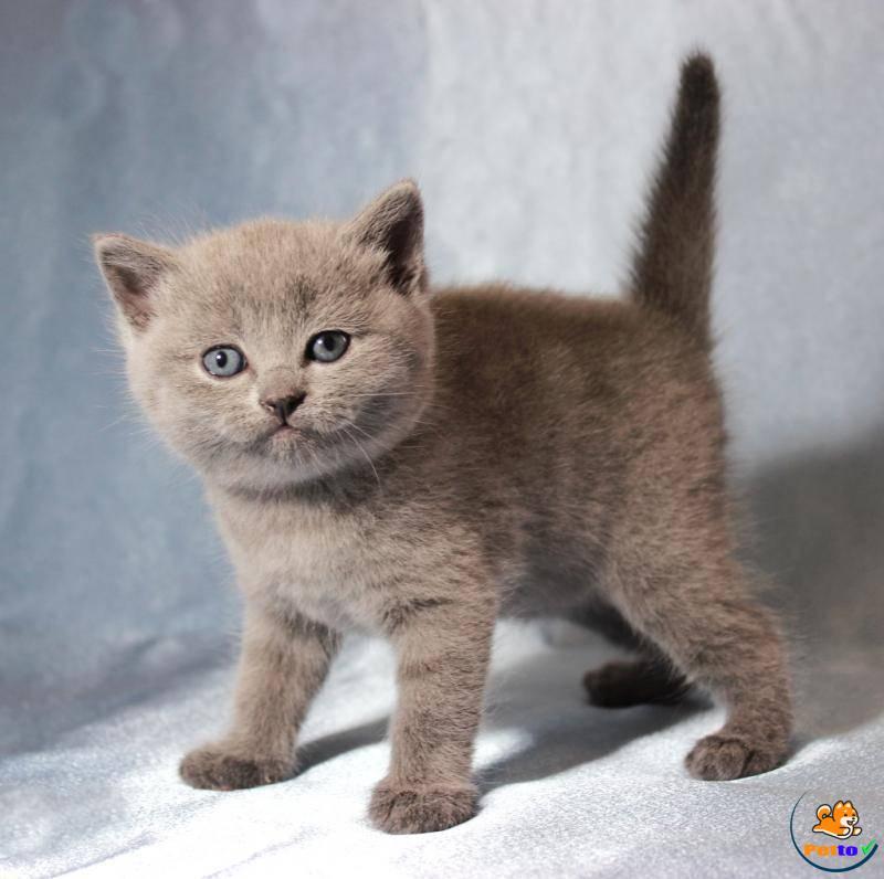 Mèo ALN màu Hyma