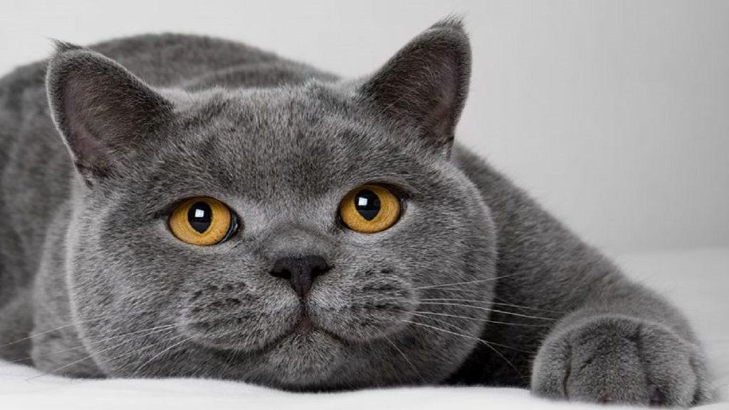 Mèo ALN có mũi thì tẹt và cằm hơi tròn.