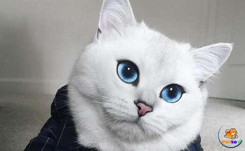 Mèo Anh lông ngắn có bộ lông màu trắng
