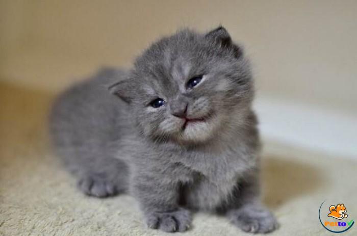 Mèo anh lông ngắn tai cụp lúc còn nhỏ