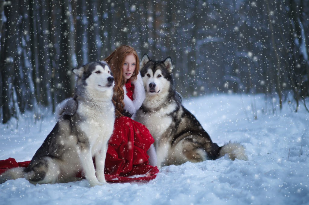 Malamute thân thiện với con người và chó Husky