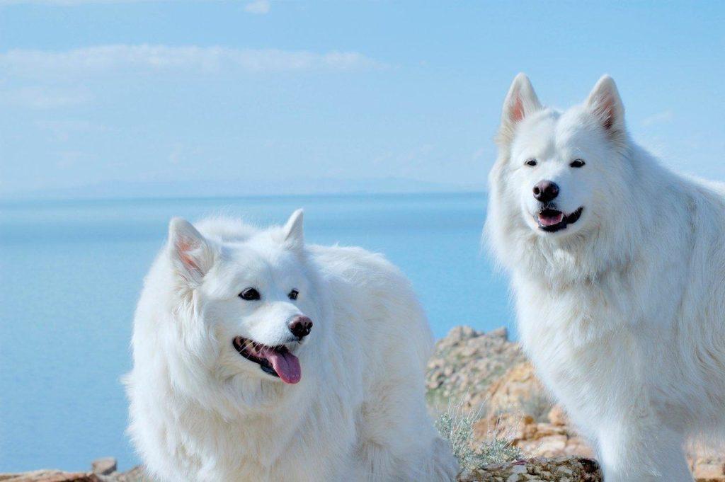 Bộ lông màu trắng cực kì tuyệt đẹp- chó alaska