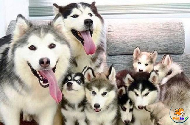 Chó Alaska đòi hỏi chế độ nuôi rất cao