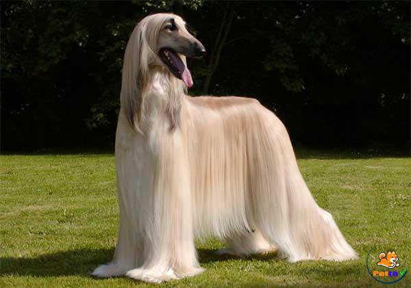 Chú chó có bộ lông tuyệt đẹp