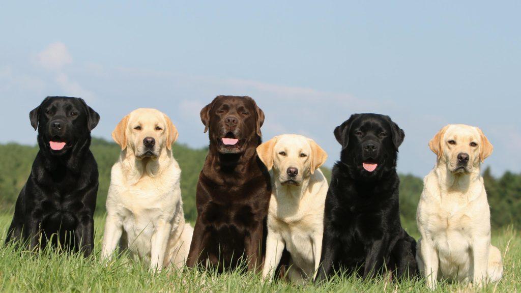 Chó Labradors còn có tên gọi là Lab