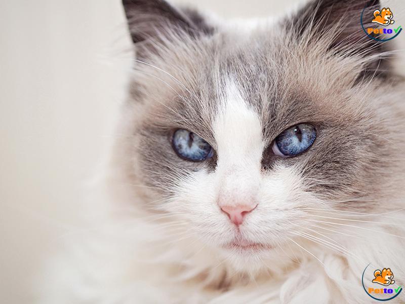 Đôi mắt là đặc điểm nổi bật của mèo ragdoll